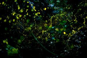 石垣島の野の楽しみ 庭の蛍